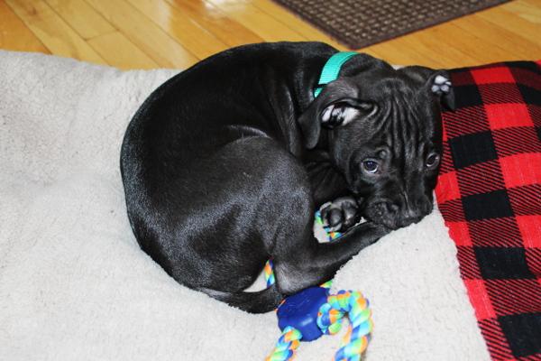 Titan, AmStaff Puppy